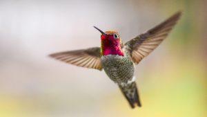 Hummingbird courtesy National Audubon Society